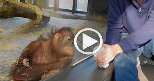 (VÍDEO) El orangután que ríe a carcajadas con un truco de magia