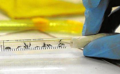 Una muestra de mosquitos transmisores del Zika.