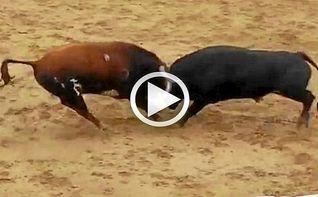 Dos toros mueren en el acto tras un choque frontal
